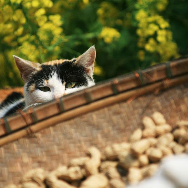 Can Cats Eat Peanuts?