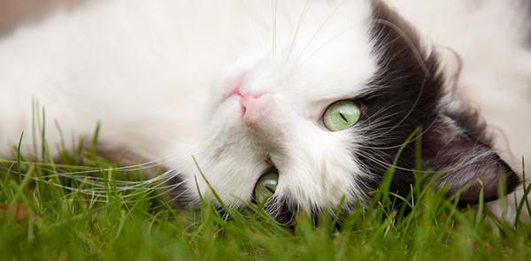 A Norwegian Forest Cat lies upside down in a grassy field