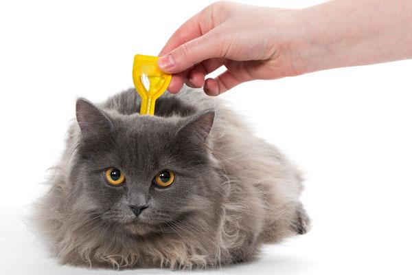 A gray cat gets a flea treatment.