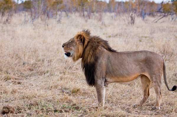 Photo courtesy Cecil the Lion