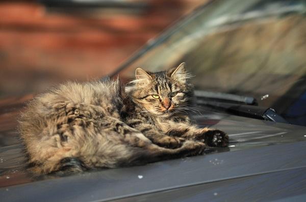 fluffy-cat-car-shutterstock_252442000