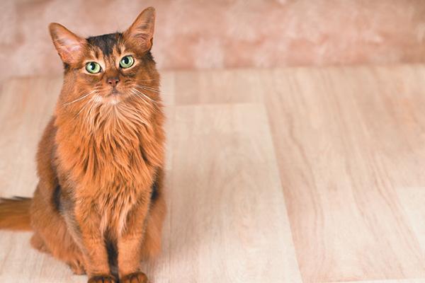 A fluffy cat on a hardwood floor.