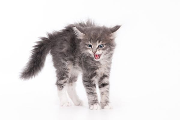 A gray kitten hissing.