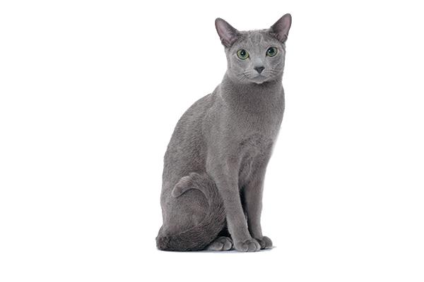 A Russian Blue cat.