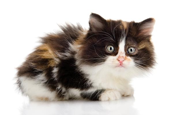 Useful Anti Matting Cat Hair Cuts