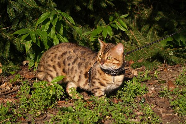 Savannah cat on a leash.