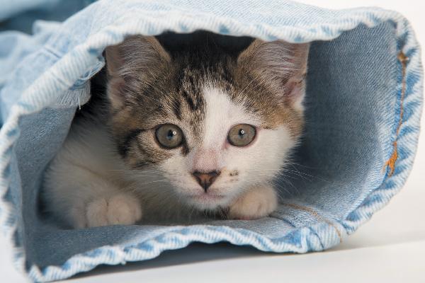 Cat hides in a denim jeans pants leg.