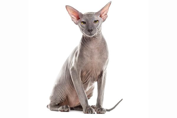 Peterbald cat.