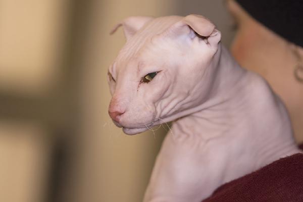 Ukrainian Levkoy cat.