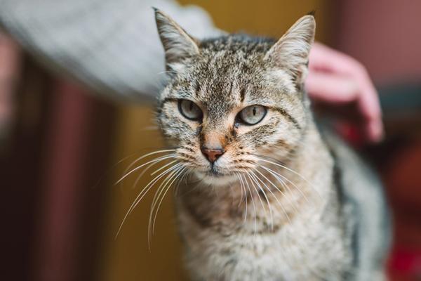A tabby cat being pet.