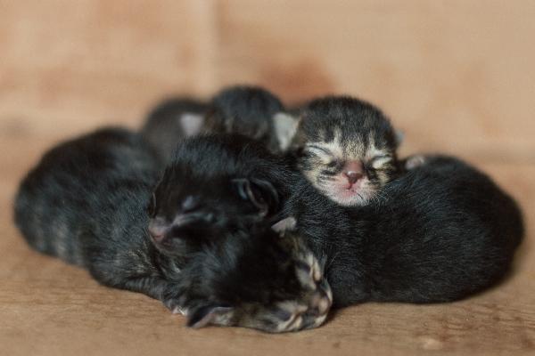 A pile of newborn tabby kittens.