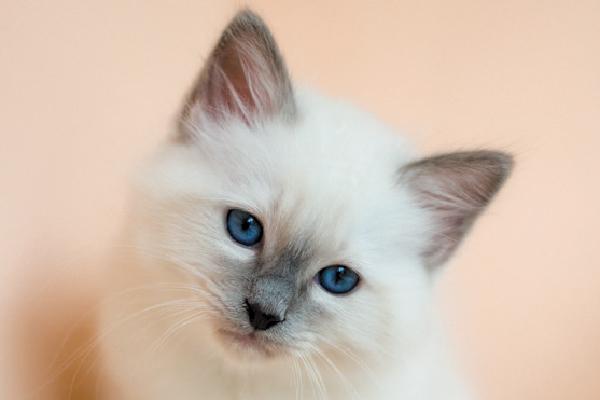 Birman cat close up.