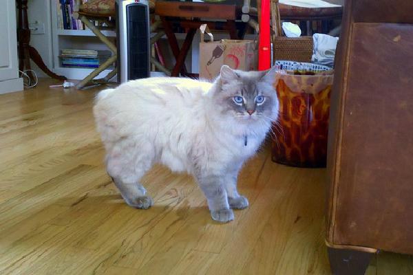 Cymric cat.