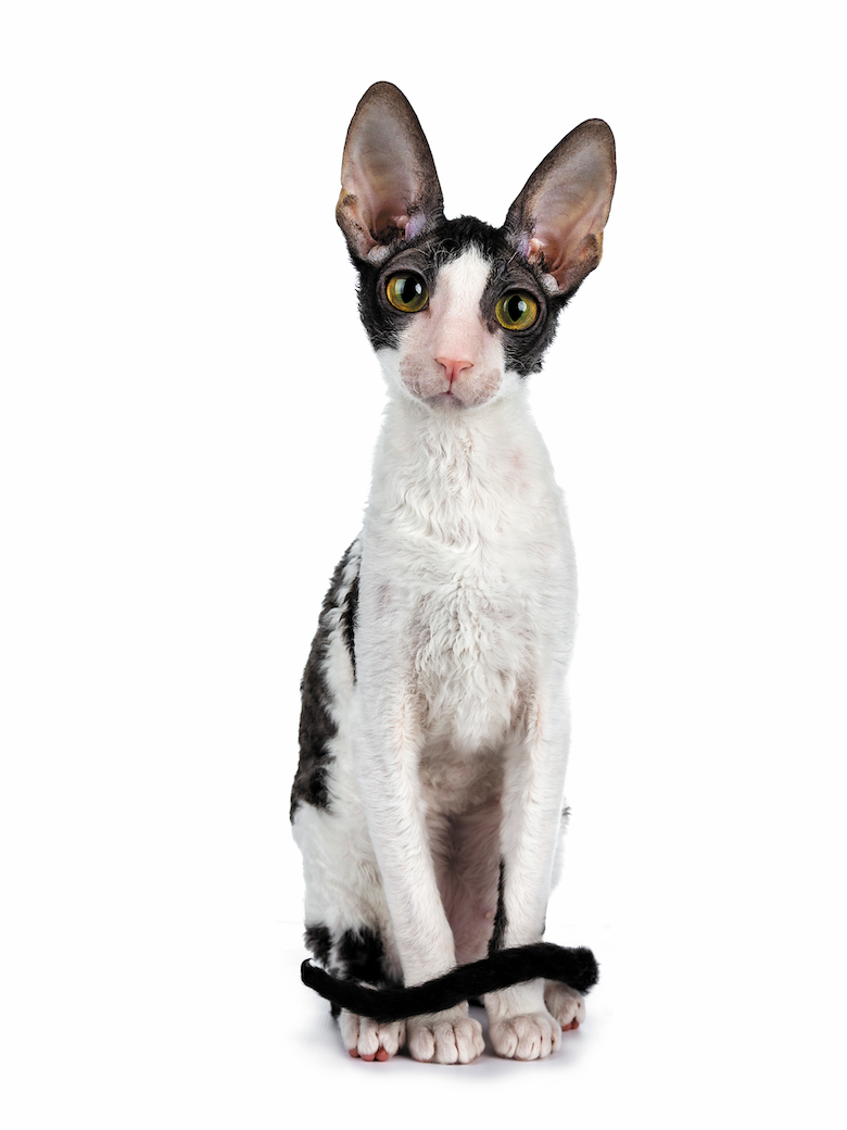 Image result for Cornish Rex