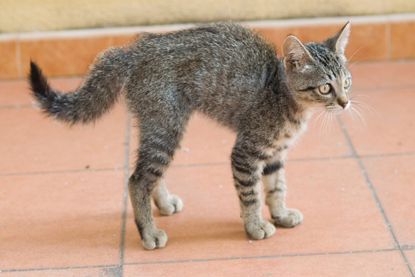 A tabby cat with a bushy tail.