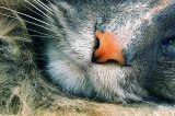 A close up of a cat nose on a gray cat.