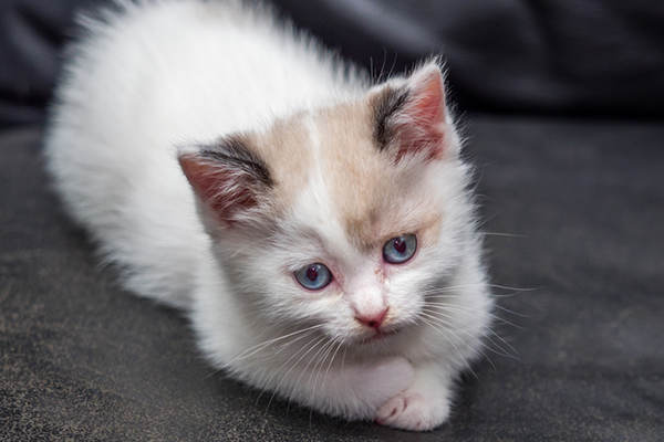 4 Things to Know About Cats With Blue Eyes , Catster