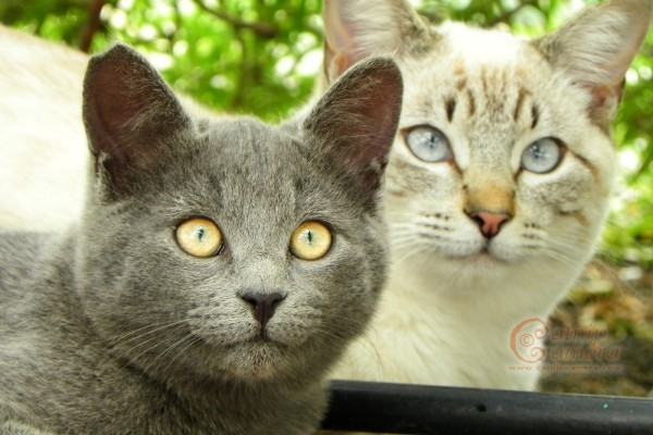 feral cats - grey and siamese