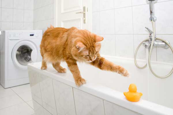 A cat taking a bath with a rubber ducky.