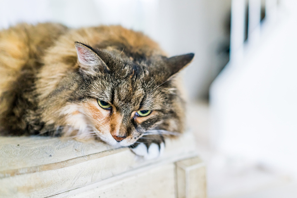 An older cat lying down and resting. Photography ©krblokhin | Thinkstock.