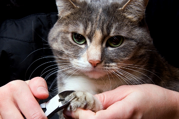 A cat getting his nails trimmed.