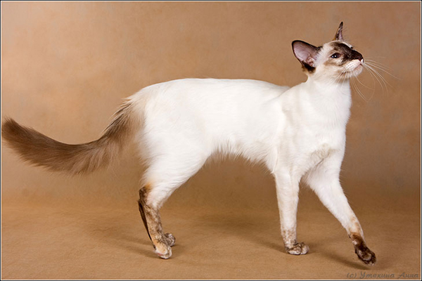 Get To Know The Balinese A Siamese In A Glamorous Coat