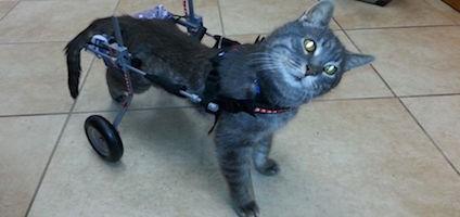 Meet Emerson A Wheelchair Wizard Of A Rescue Cat Catster