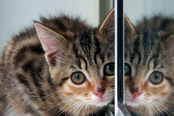 A kitten pressing her face / head up against a mirror and wall.