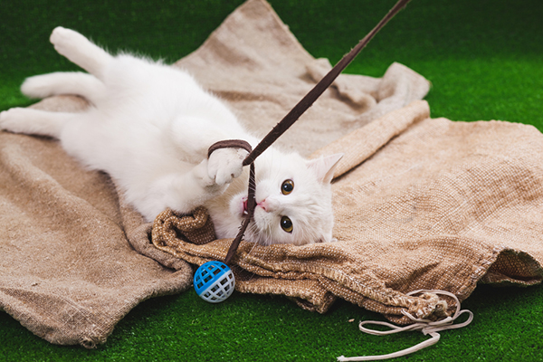Get To Know The Turkish Angora The Ballerina Of The Cat Fancy Catster
