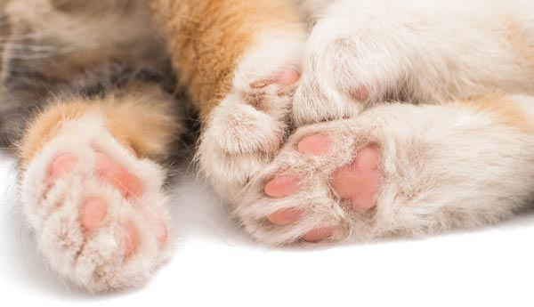 9 Interesting Facts About Cat Paws - Catster