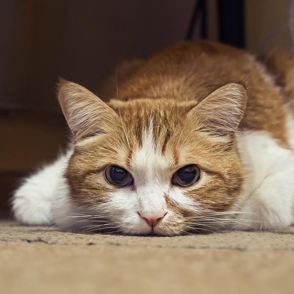 Yellow cat by Shutterstock