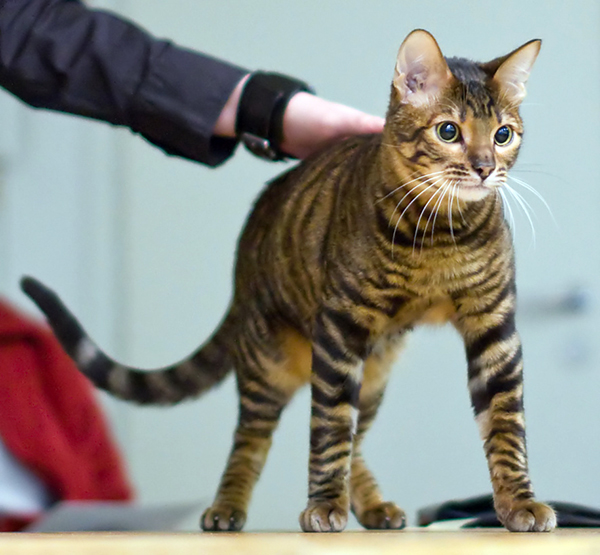 A Toyger at a cat show. Photo CC-BY Heikki Siltala via Wikimedia Commons