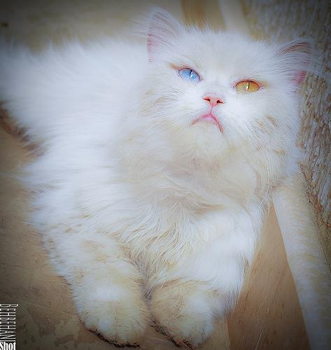 Pretty Persian