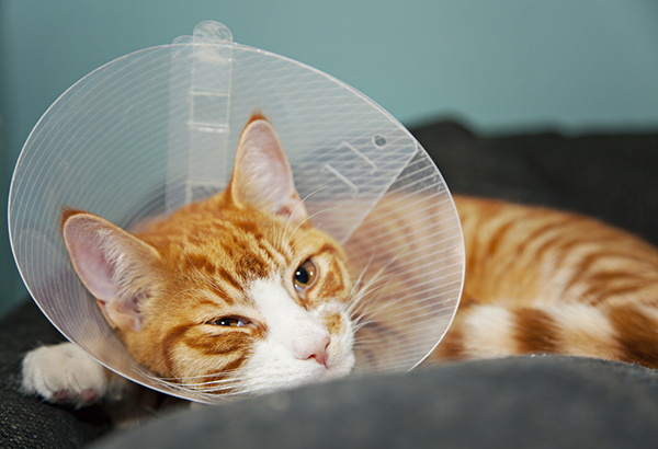 The cone of shame is a small price to pay for not being in pain anymore. Ginger cat after surgery by Shutterstock