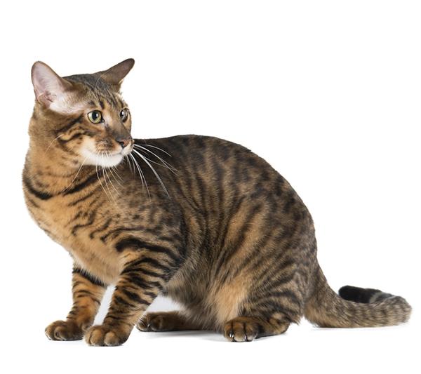 Crouching Toyger, hidden cat toyToyger photo by Shutterstock