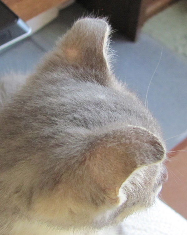 Why Is My Cats Ear Drooping