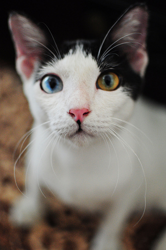 Two Color eyes Cat 2