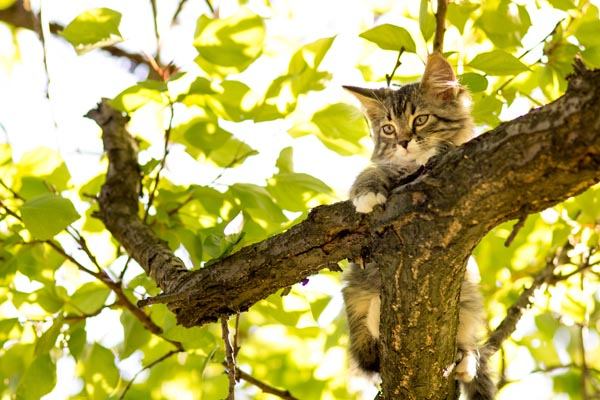 A young gray cat up in a tree.