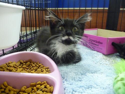 Fuzzy Moustache Kitten