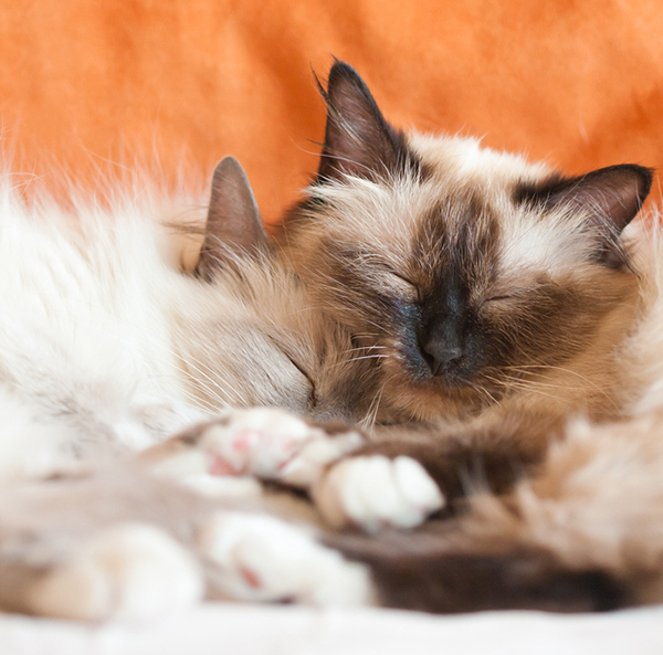 Gratuitous cute Birman kitten photo! Photo by Shutterstock
