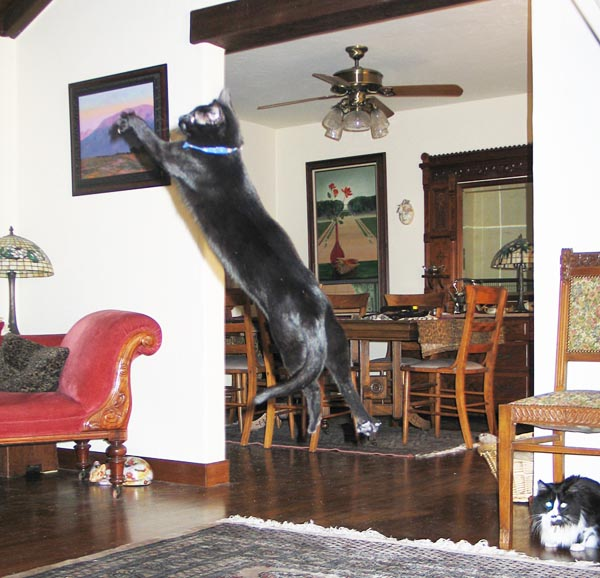 A black cat jumping in the air.