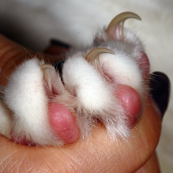 Toe Beans Cat Big Cat