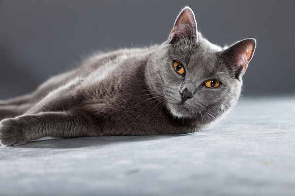 Are Chartreux Cats Named After Chartreuse
