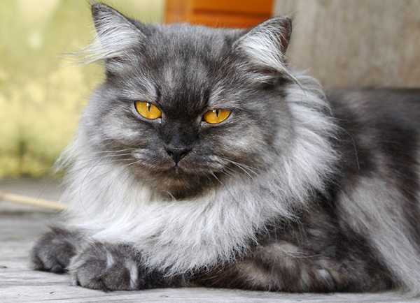 Image result for persian cat