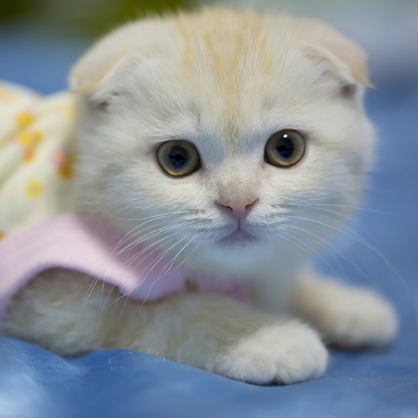 Get To Know The Scottish Fold An Owl In A Cat Suit Catster