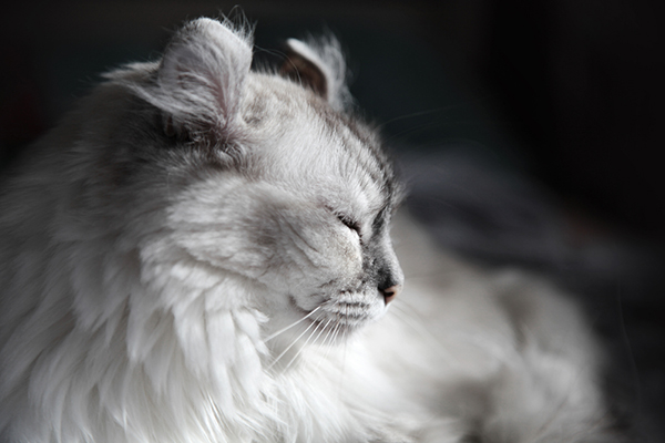 An American Curl cat in profile.