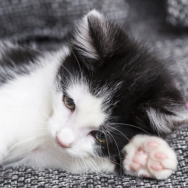 The Weird Science Behind Your Cats Paws Catster