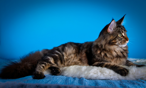 A Maine Coon cat lounging on a bed.