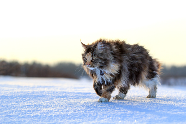 A Maine Coon cat outside in the snow.
