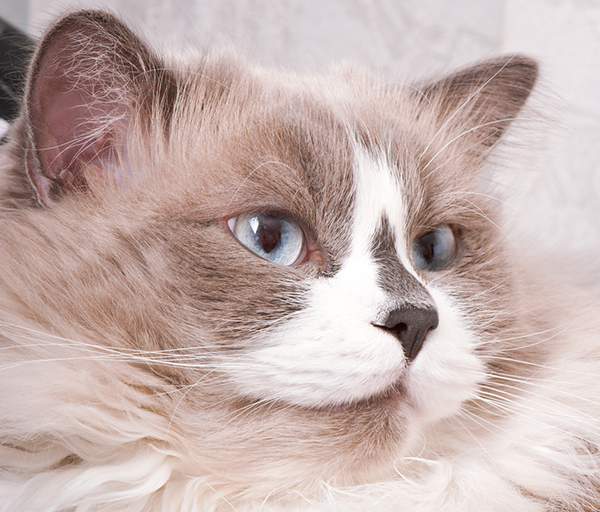 Get To Know The Ragdoll A Large Laid Back Lap Cat Catster